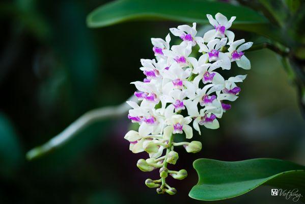Foxtail Orchid (Rhynchostylis retusa)