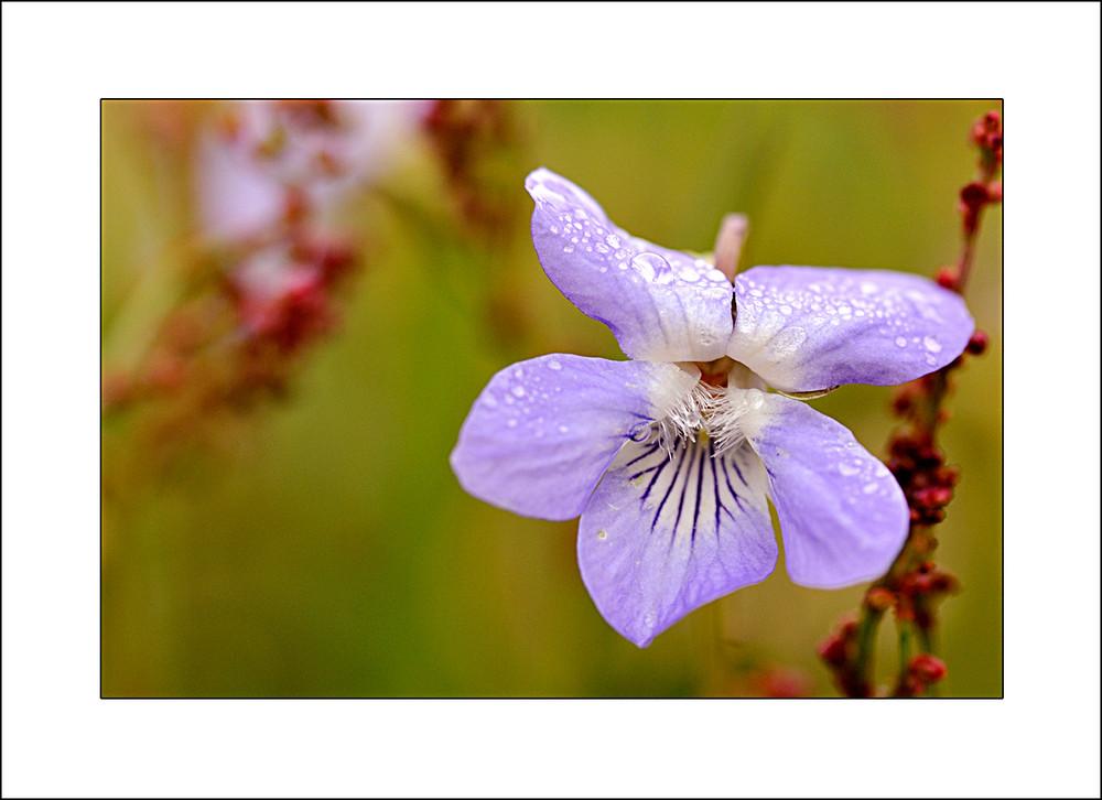 Fraîcheur violette