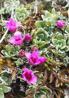 Frage an Experten: Saxifraga biflora???
