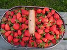fraises,panier gourmand de mon jardin
