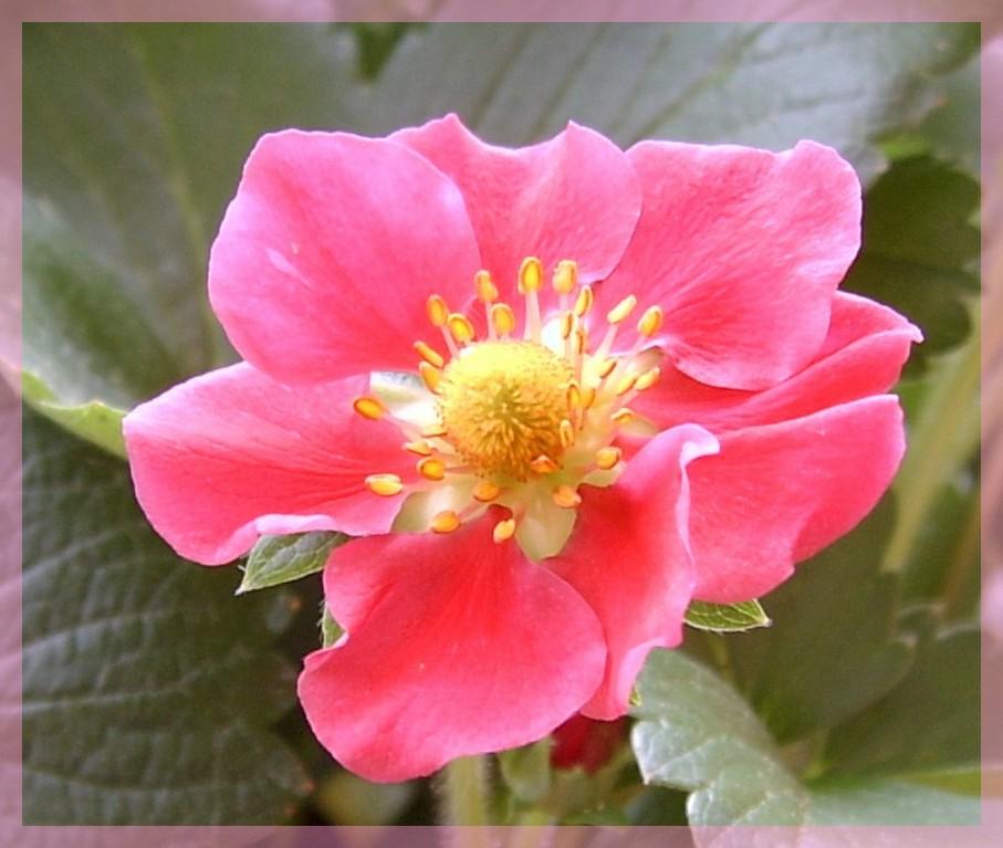 fraisier rose