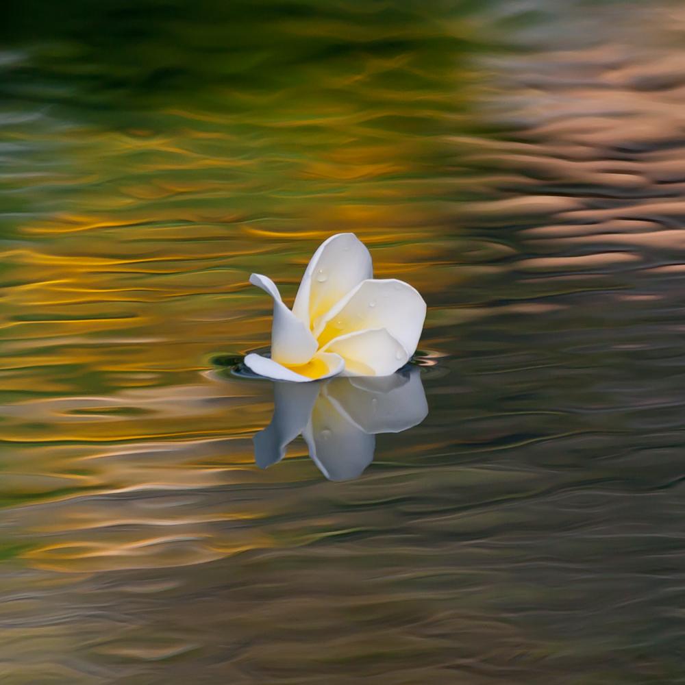 Frangipani-Blüte...