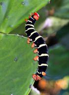 Frangipani Caterpillars Raupe