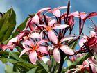 Frangipani - oder auch Tempelblume genannt
