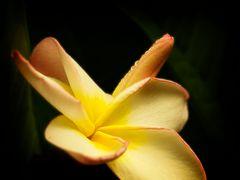 Frangipani  (Sinnliche Blüten 2010)
