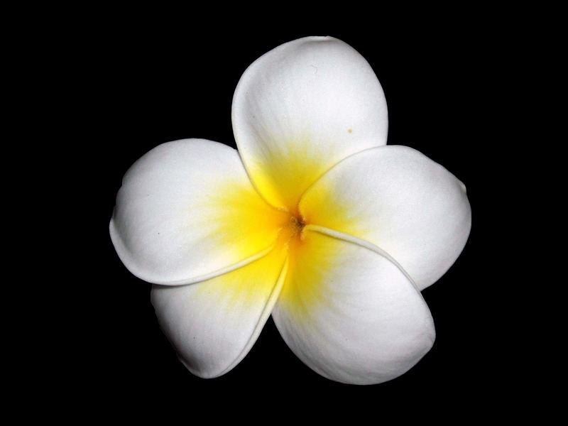 Frangipini-Blüte