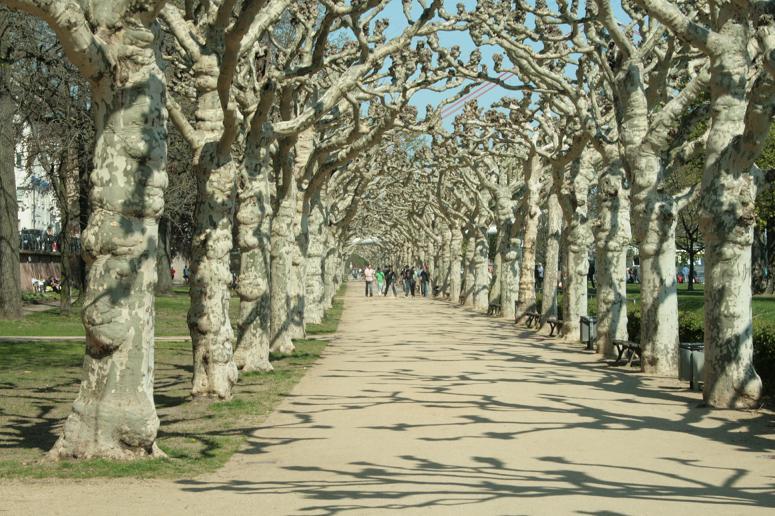 frankfurt main entlang bäume