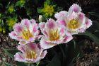 Fransen Tulpen