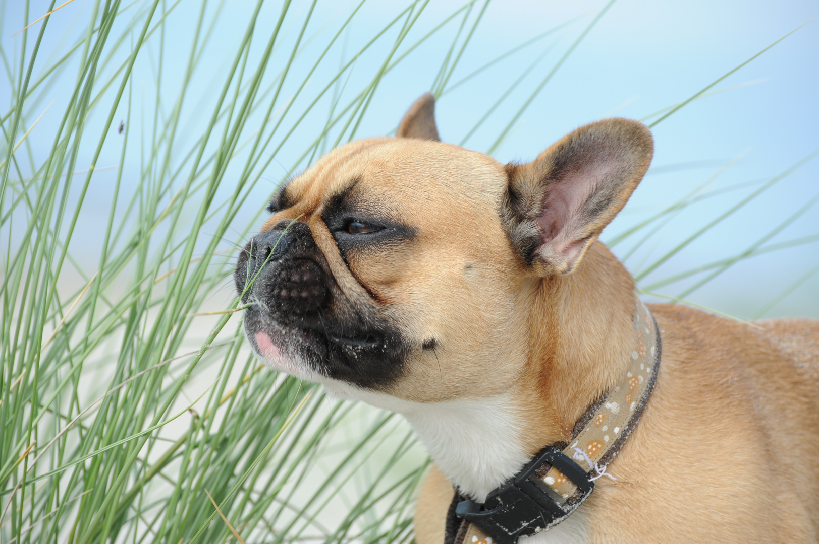 Französische Bulldogge am Ostseestrand