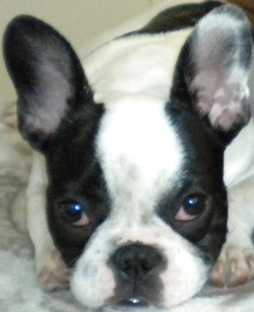 Französische Bulldogge - Buddy - french bulldog