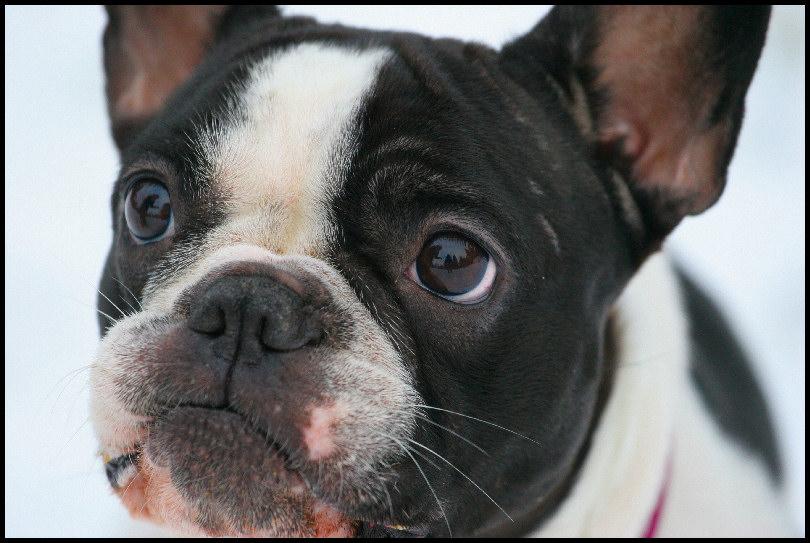 Französische Bulldogge Emma