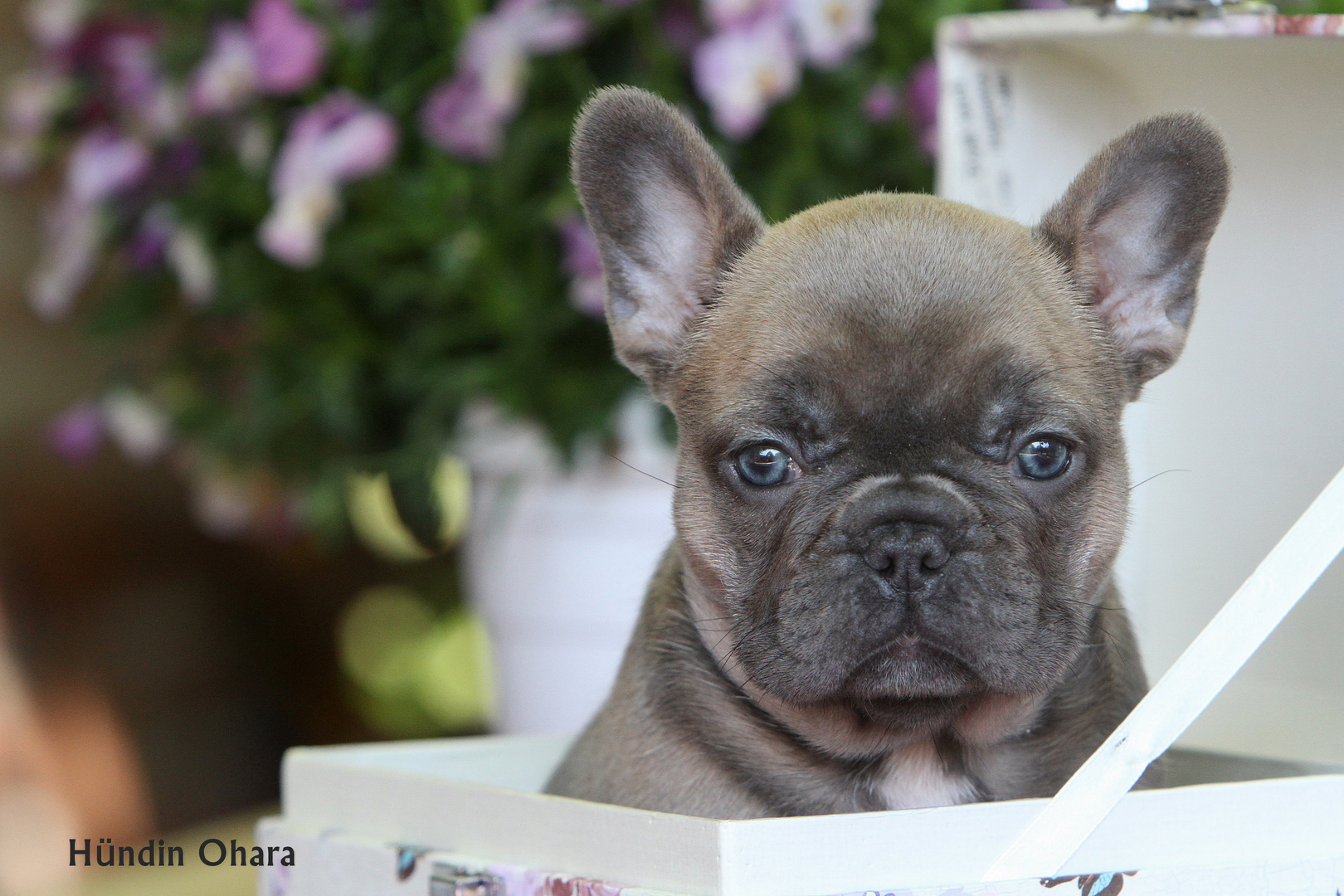franz sische bulldogge red blue fawn zobel foto bild tiere haustiere hunde bilder auf. Black Bedroom Furniture Sets. Home Design Ideas