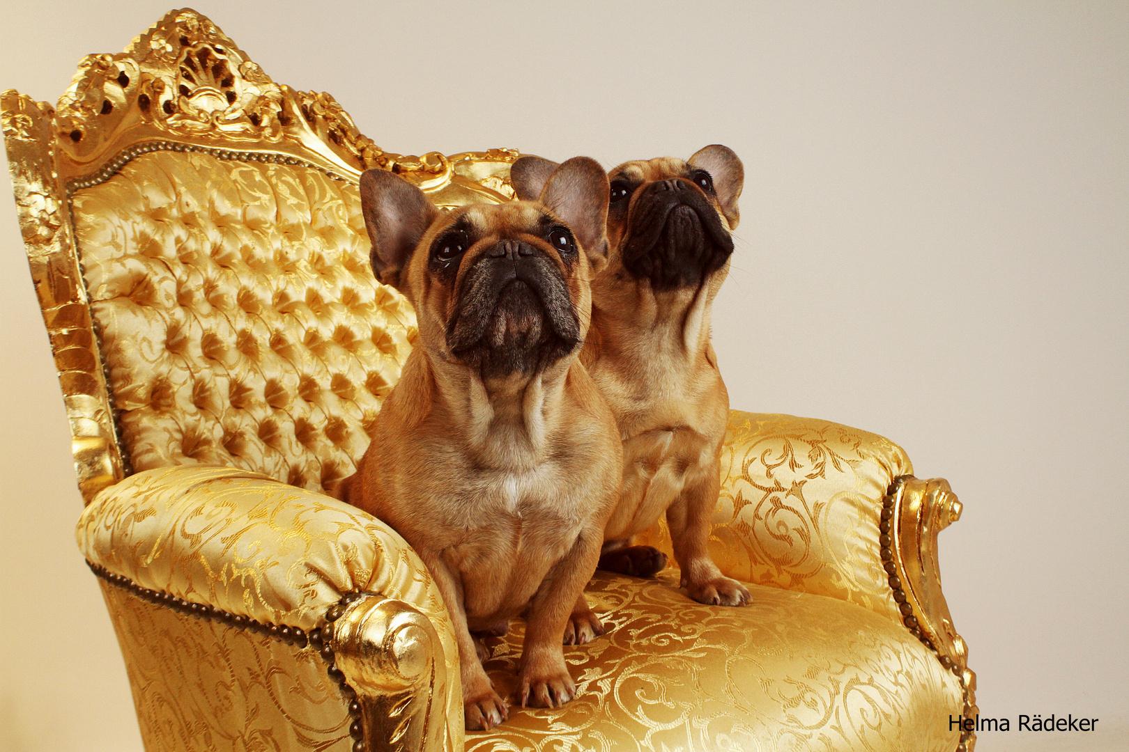 Französische Bulldogge Toffiefee und ihre Tochter Mahagoni