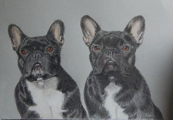 Französische Bulldoggen gezeichnet