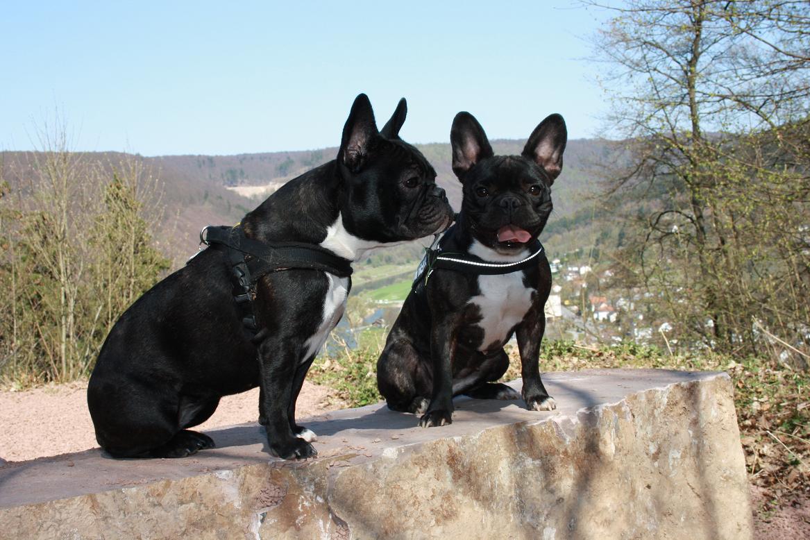 französische Bulldoggen, Wilma und Maia