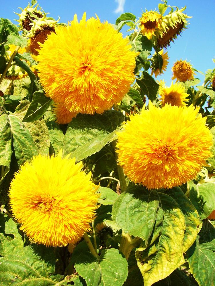 Französische Sonnenblumen