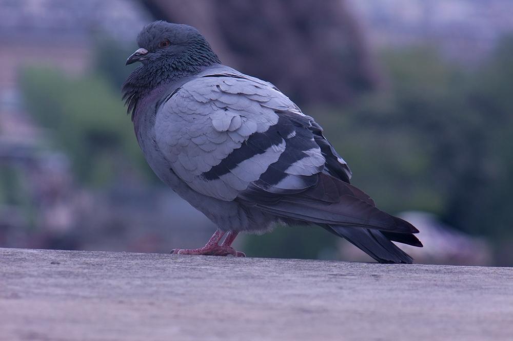 Französische Taube