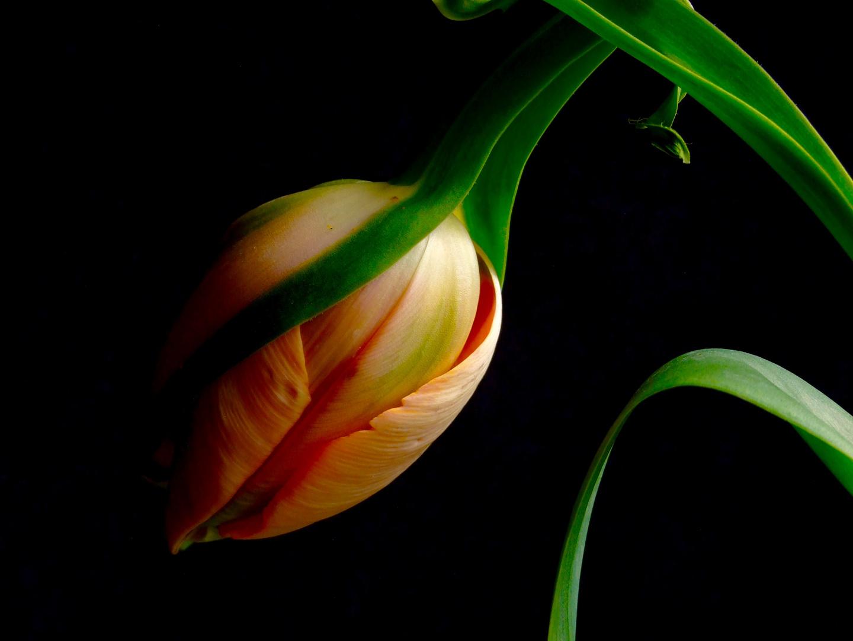 franz sische tulpen gelten als besonders extravagant und edel foto bild pflanzen. Black Bedroom Furniture Sets. Home Design Ideas