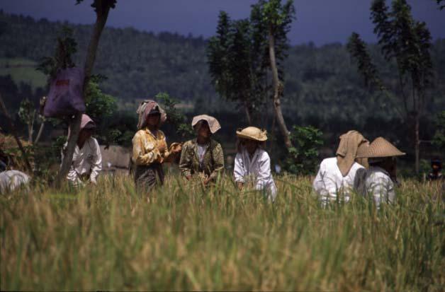 Frauen bei der Reisernte auf Bali