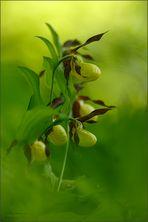 frauenschuh (Cypripedium calceolus), 02/14