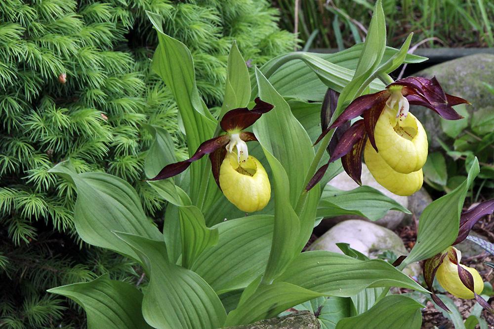 frauenschuh cypripedium calceolus die orchidee des. Black Bedroom Furniture Sets. Home Design Ideas
