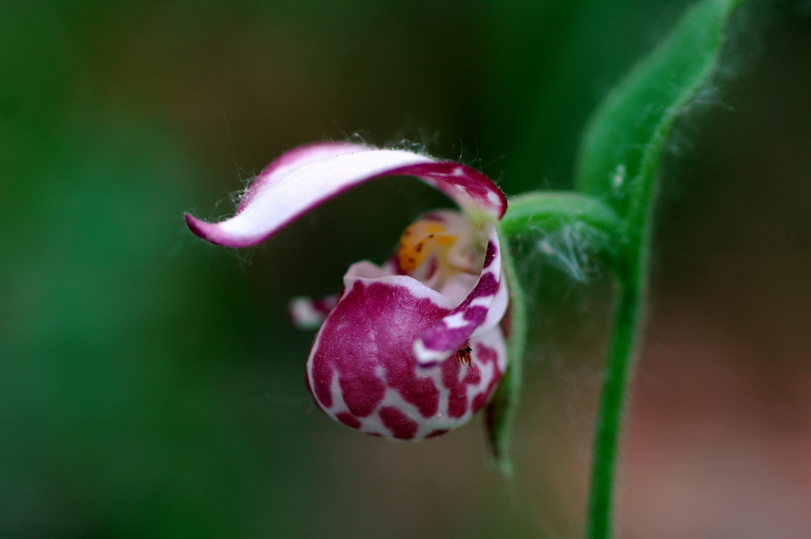 Frauenschuh (Cypripedium guttatum)