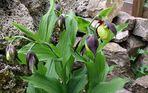 Frauenschuh und meine größter Stock mit 9 Blüten, was ich noch nie hatte