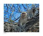 Freche Affen im Krügerpark