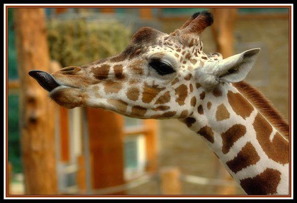 Freche Giraffe