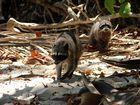 freche Waschbären (Nationalpark Manuel Antonio, Costa Rica)