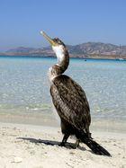 Frecher Kormoran in Sardinien