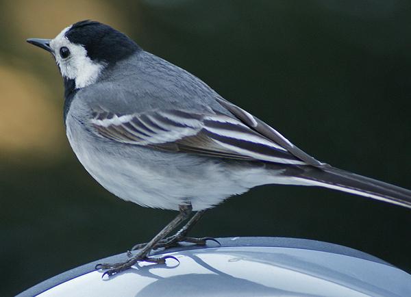 Frecher Vogel