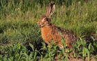 Frecher zungenbleckender Hase ..... von Carl-Peter Herbolzheimer
