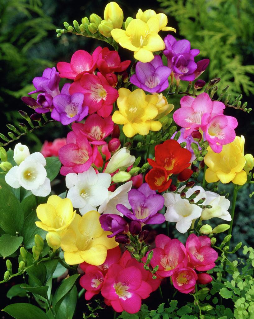 freesien meine lieblingsblumen foto bild blumen natur bl ten bilder auf fotocommunity. Black Bedroom Furniture Sets. Home Design Ideas