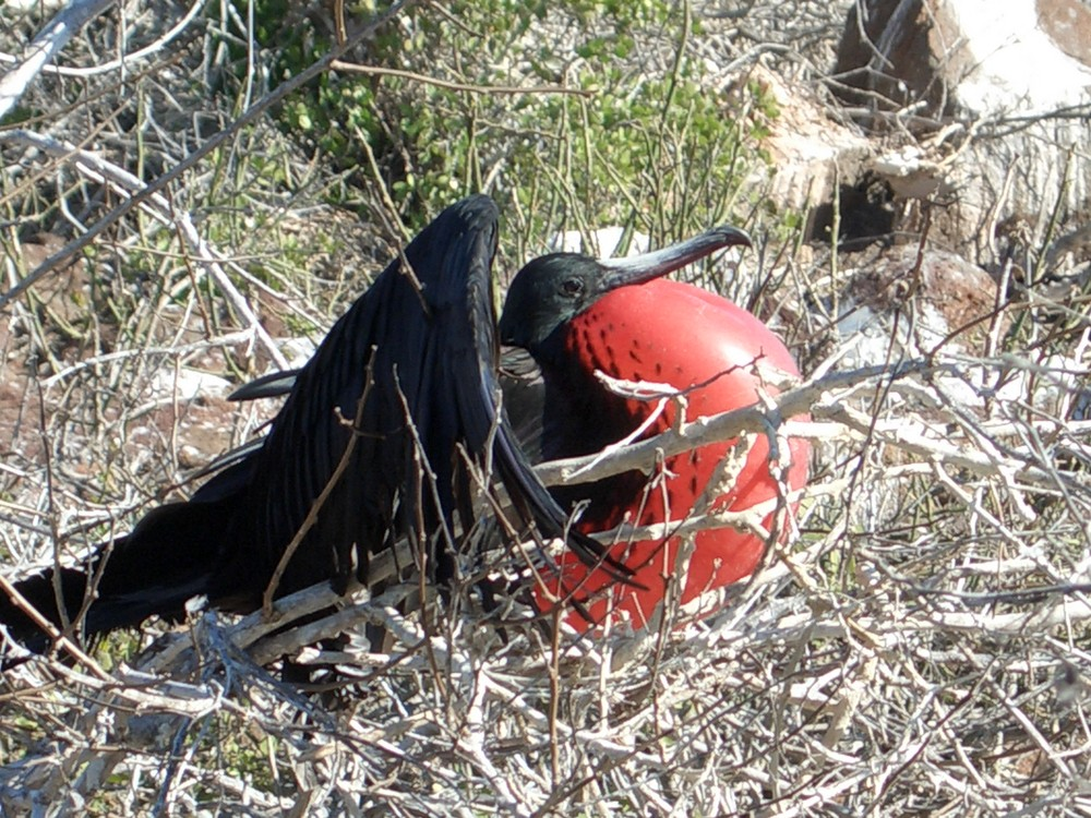 Fregattvogel beim Balzen