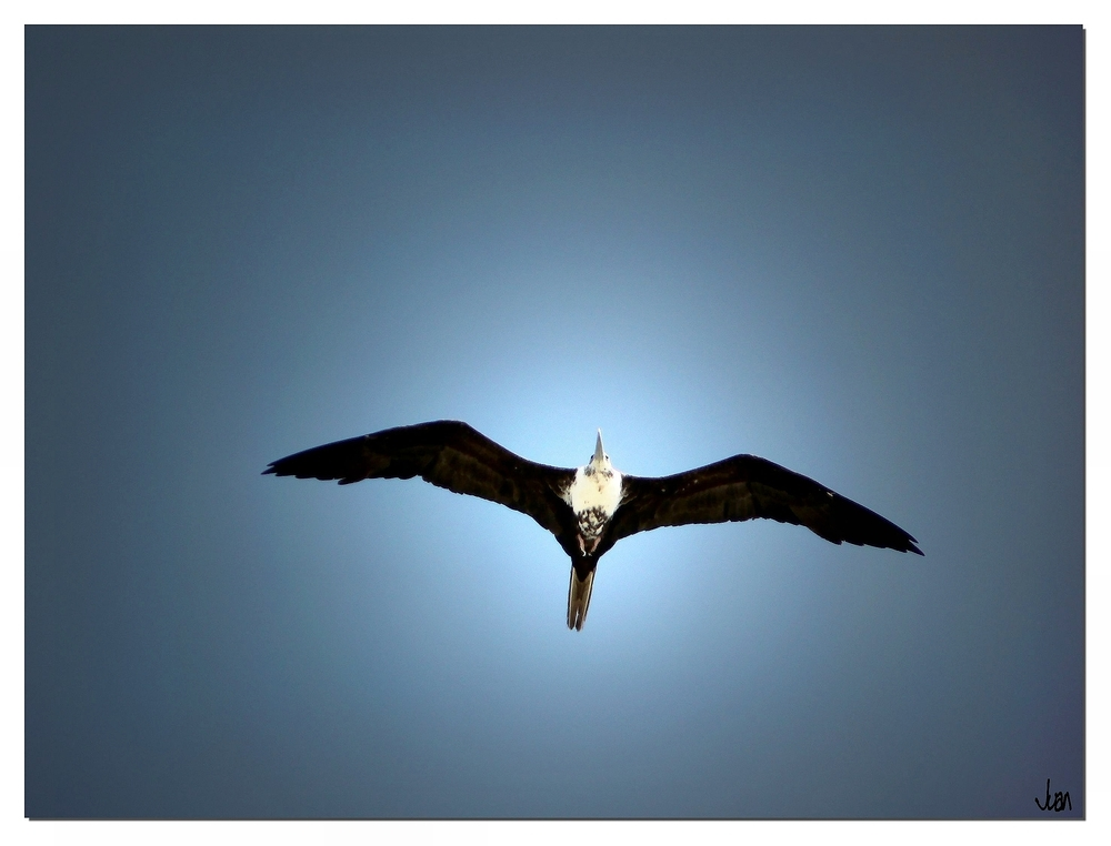 Fregattvogel im Wind..