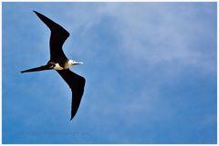 Fregattvogel, oder...
