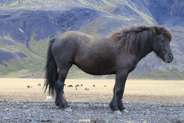 Frei laufende Islandpferde