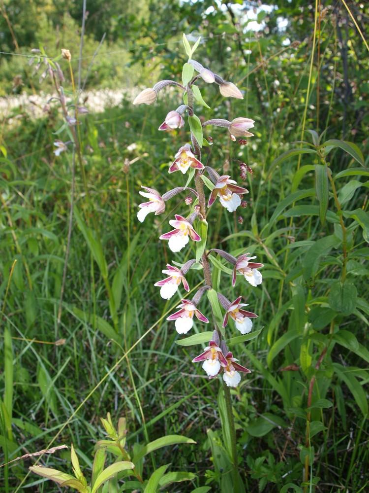freiland orchidee auf der estnischen insel muhu foto. Black Bedroom Furniture Sets. Home Design Ideas