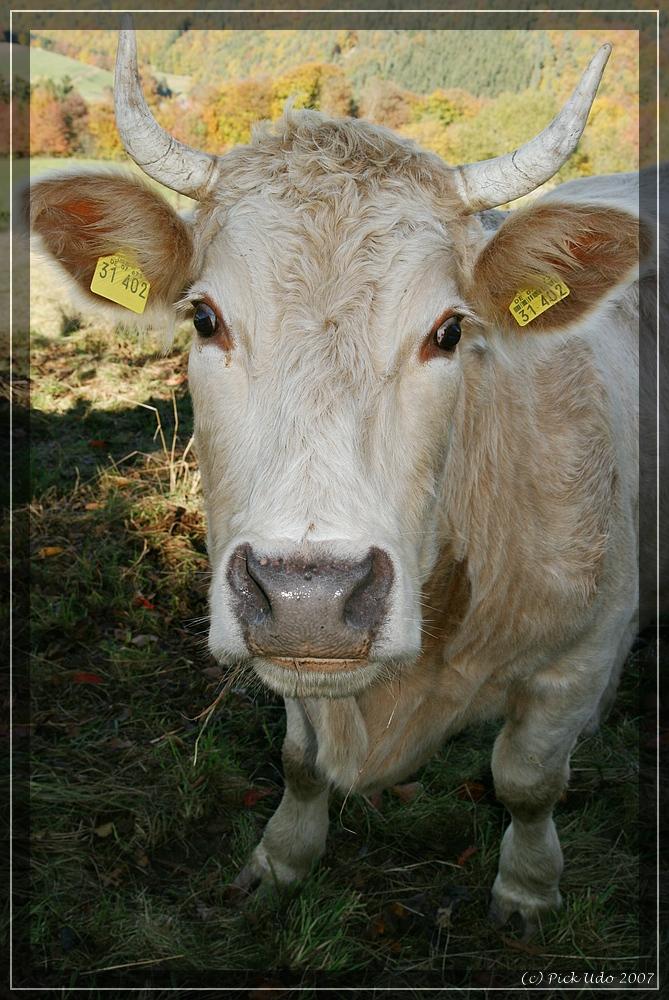 freilaufendes Rindfleisch