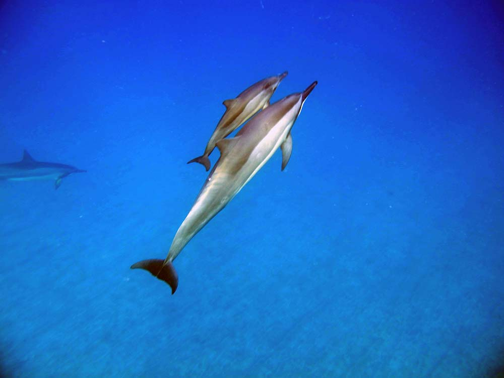 freilebende Delphinmama mit Babydelphin im Meer vor Hawaii