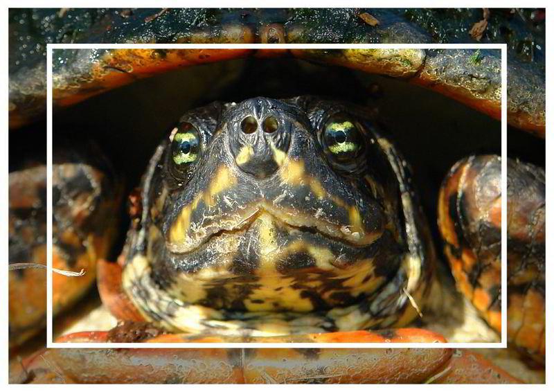 Freilebende Schildkröte in Florida