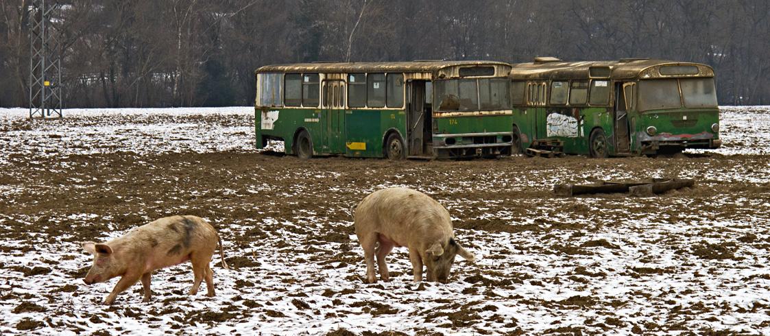 freilebende schweine mit ausrangierten bussen als etwas sonderlichen schweinestall foto bild. Black Bedroom Furniture Sets. Home Design Ideas