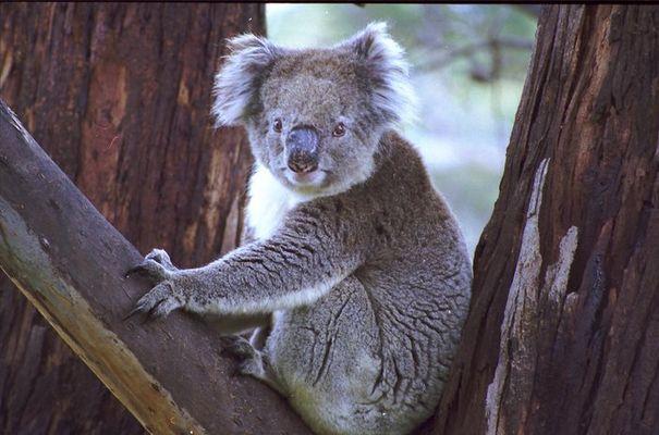 freilebender Koala auf Kangaroo Island
