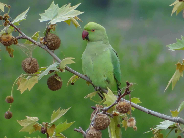 freilebender papagei foto  bild  tiere wildlife wild