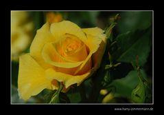 Freitags-Blume