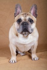 French Bulldog Hugo I