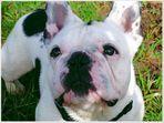 french bulldog in love
