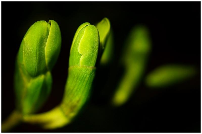 Fresien vor der Blüte