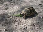 fressende Schildkröte